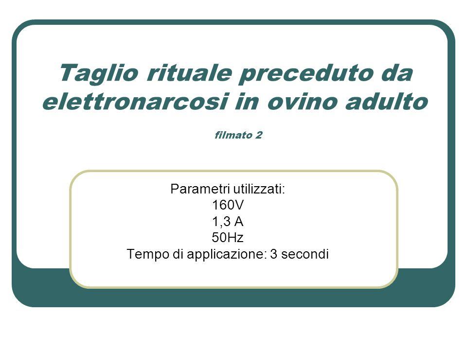Taglio rituale preceduto da elettronarcosi in ovino adulto filmato 2 Parametri utilizzati: 160V 1,3 A 50Hz Tempo di applicazione: 3 secondi