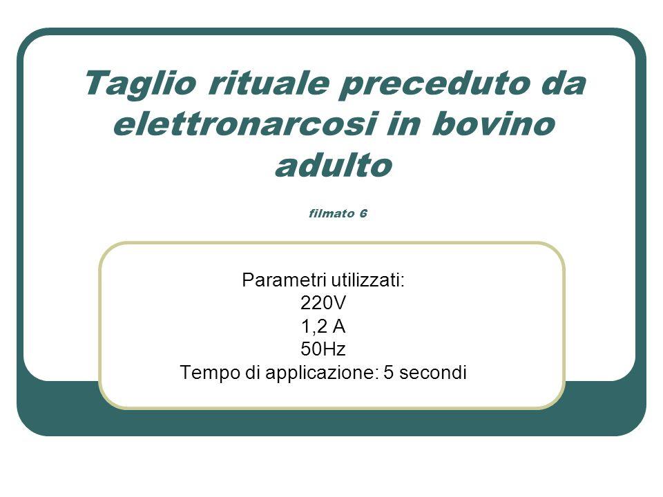 Taglio rituale preceduto da elettronarcosi in bovino adulto filmato 6 Parametri utilizzati: 220V 1,2 A 50Hz Tempo di applicazione: 5 secondi
