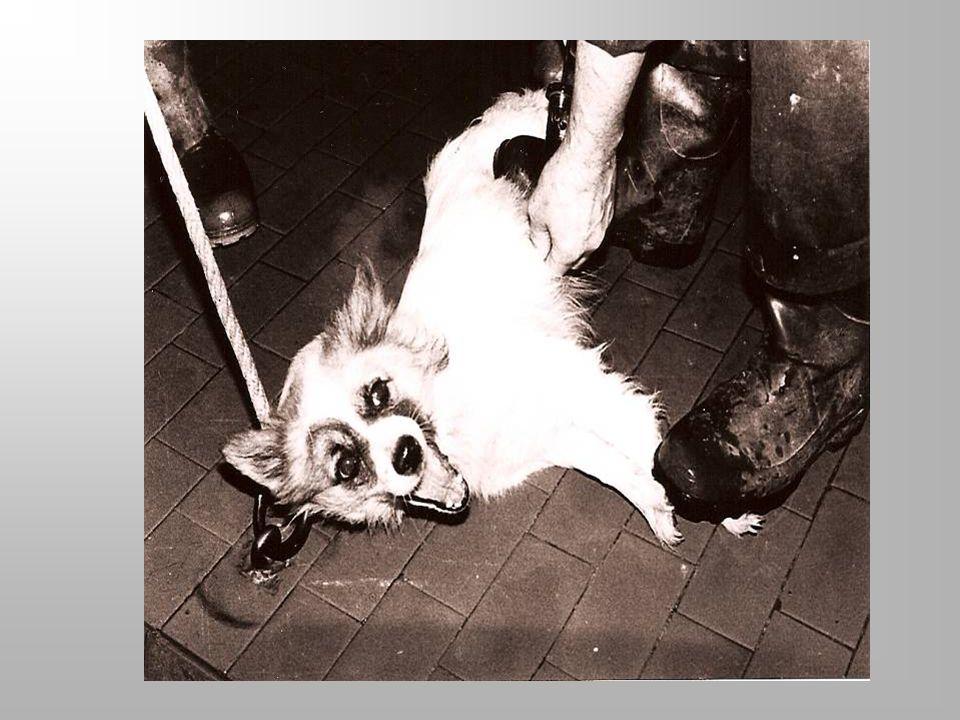Controllo cani morsicatori Alla luce di quanto sta avvenendo nel Veneto, la profilassi antirabbica deve essere effettuata con ancor maggiore scrupolo e attenzione Può essere fatta a domicilio o in canile Consiste in due visite cliniche, di cui lultima allo scadere dei 10 gg dalla morsicatura