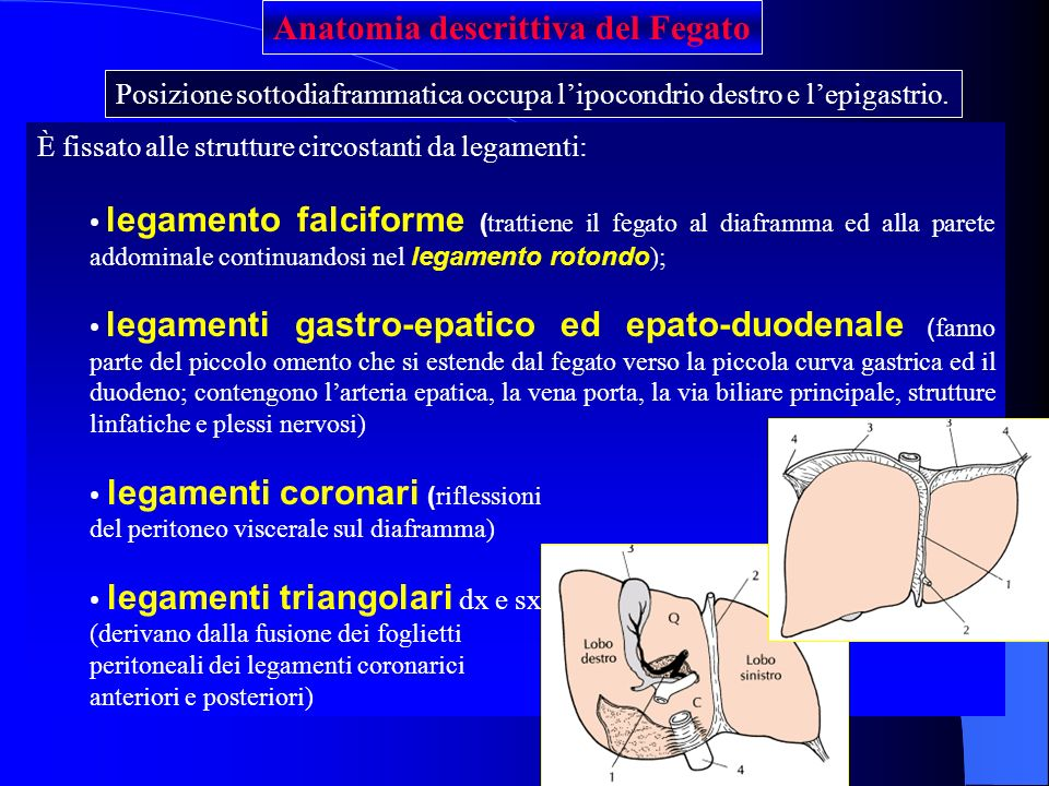 Posizione sottodiaframmatica occupa lipocondrio destro e lepigastrio. Anatomia descrittiva del Fegato È fissato alle strutture circostanti da legament