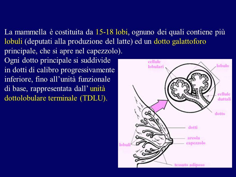 La mammella è costituita da 15-18 lobi, ognuno dei quali contiene più lobuli (deputati alla produzione del latte) ed un dotto galattoforo principale,