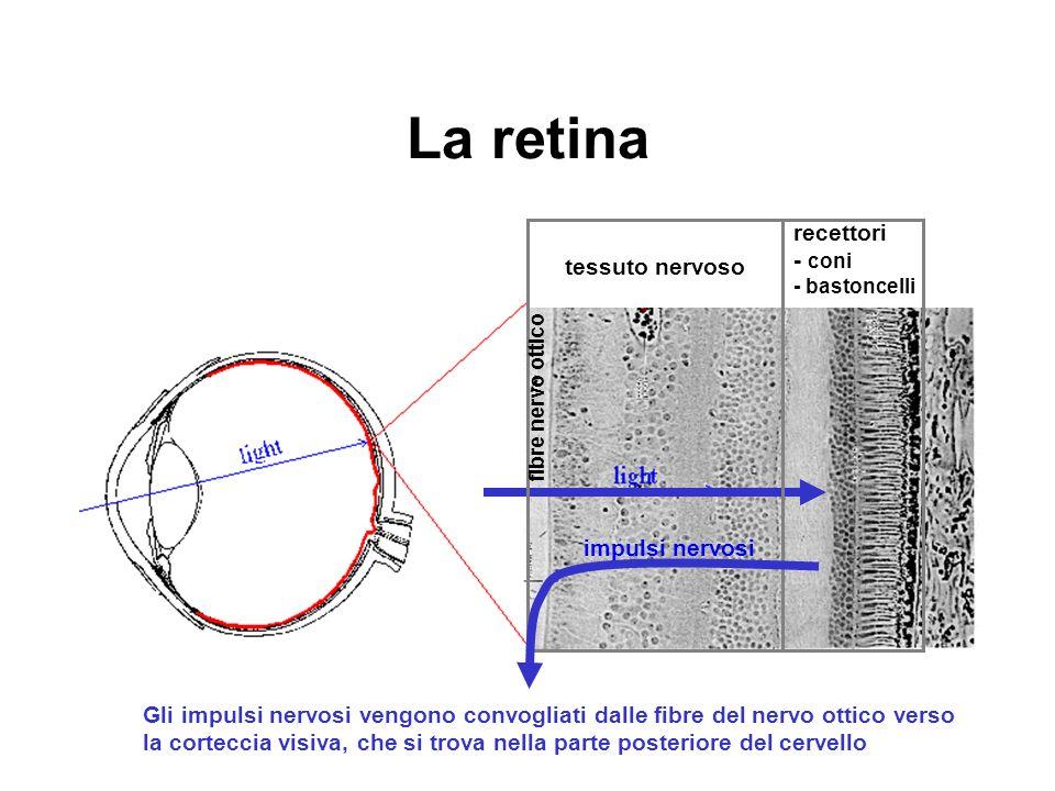 La retina recettori - coni - bastoncelli tessuto nervoso fibre nervo ottico impulsi nervosi Gli impulsi nervosi vengono convogliati dalle fibre del ne