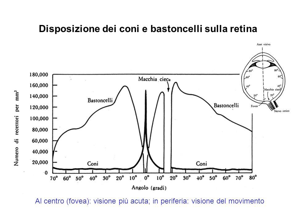 Disposizione dei coni e bastoncelli sulla retina Al centro (fovea): visione più acuta; in periferia: visione del movimento