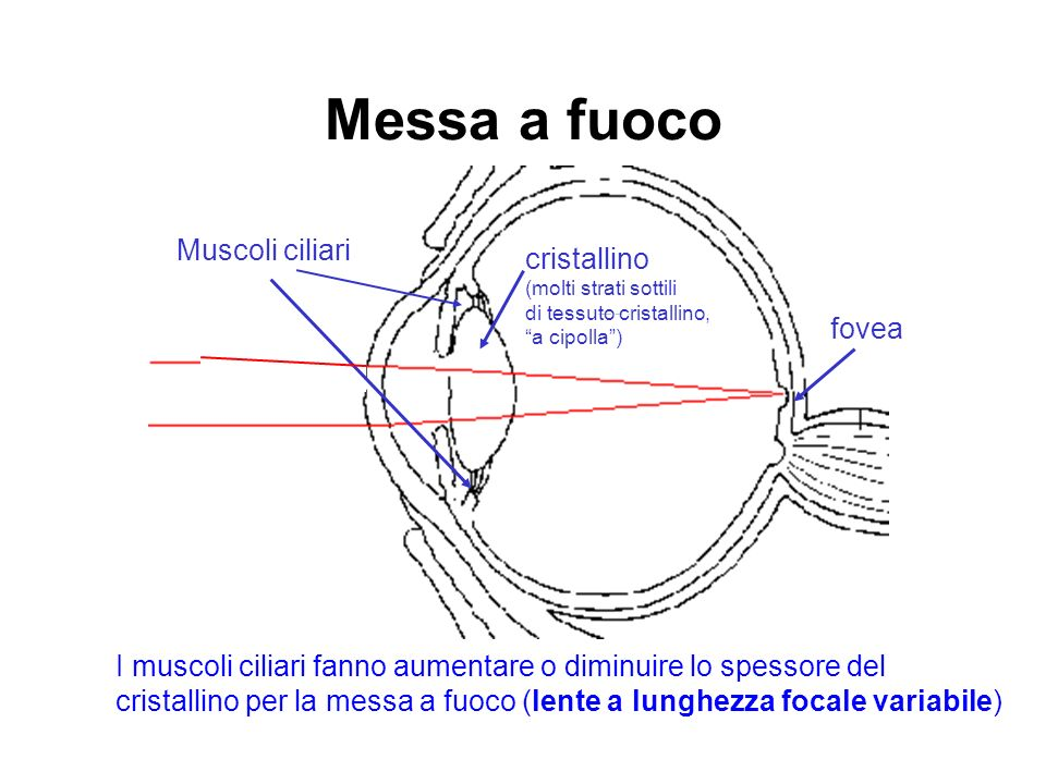 Messa a fuoco Muscoli ciliari fovea I muscoli ciliari fanno aumentare o diminuire lo spessore del cristallino per la messa a fuoco (lente a lunghezza