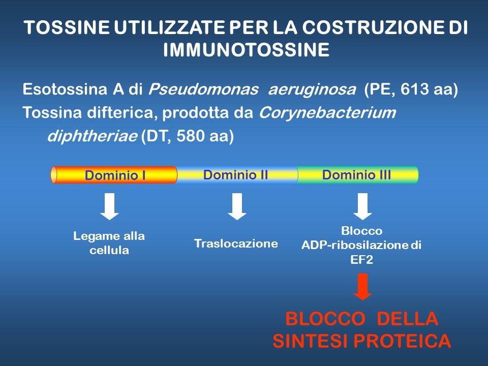 TOSSINE UTILIZZATE PER LA COSTRUZIONE DI IMMUNOTOSSINE Esotossina A di Pseudomonas aeruginosa (PE, 613 aa) Tossina difterica, prodotta da Corynebacter