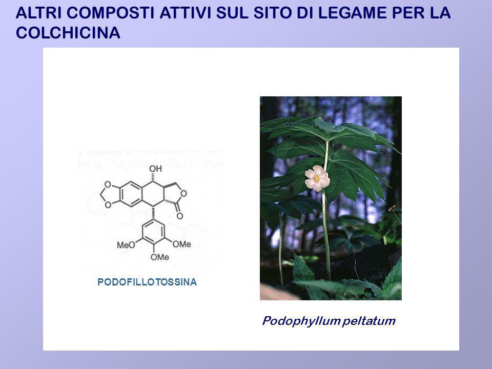 PODOFILLOTOSSINA ALTRI COMPOSTI ATTIVI SUL SITO DI LEGAME PER LA COLCHICINA Podophyllum peltatum