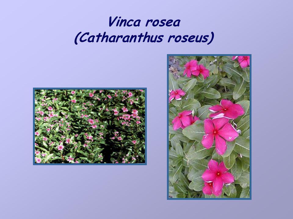 Vinca rosea (Catharanthus roseus)
