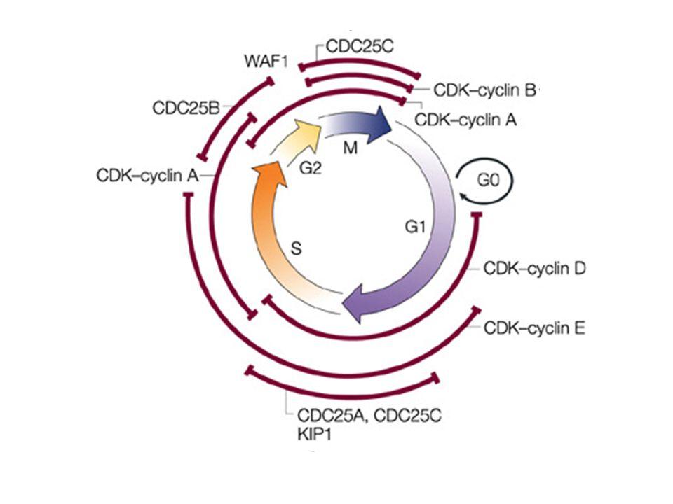 1.Inibizione EGFr (IC 50 = 21 M) 2.Inibizione PKA (IC 50 = 122 M) 3.Inibizione proliferazione cellulare (IC 50 = 66 nM) 4.Inibizione CDKs cdk1, cdk2, cdk4, cdk6 (IC 50 = ~ 41 nM) MECCANISMI DAZIONE DEL FLAVOPIRIDOLO