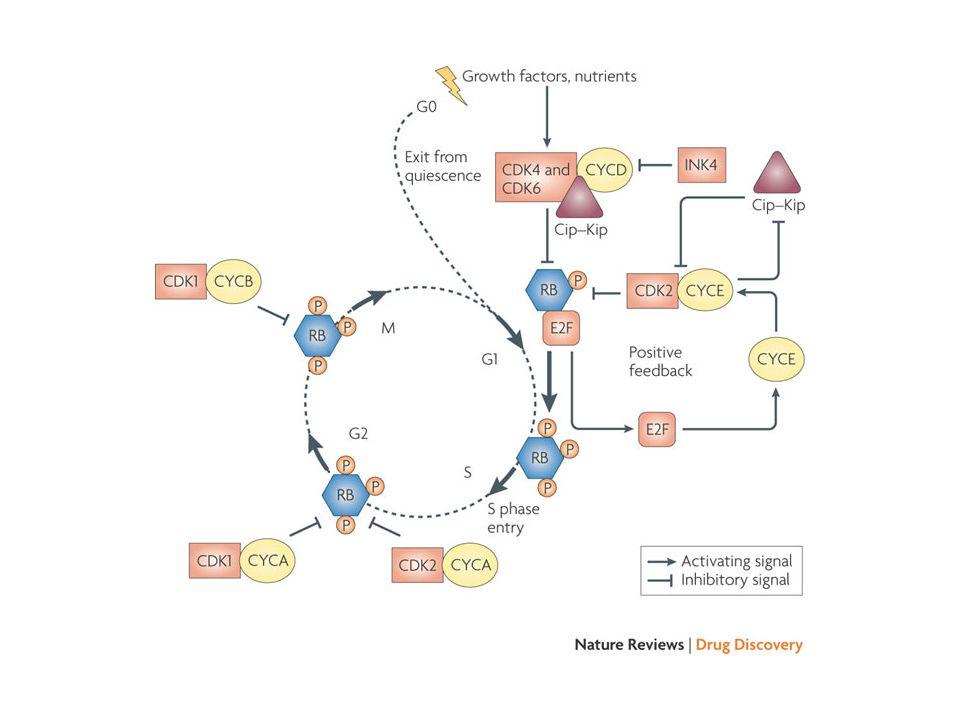 REGOLAZIONE DELLATTIVITÀ DELLE CHINASI CICLINA-DIPENDENTI sintesi/degradazione delle relative cicline formazione/dissociazione di complessi con inibitori (p21 waf1/cip1 ; p27 kip1 ; p16 ink4A ) fosforilazione/defosforilazione di Tyr15/Thr14 fosforilazione/defosforilazione T-loop (Thr160/161)