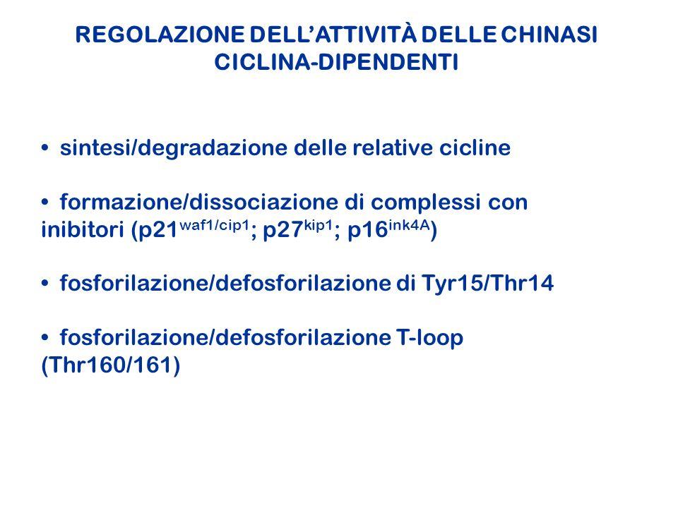 REGOLAZIONE DELLATTIVITÀ DELLE CHINASI CICLINA-DIPENDENTI sintesi/degradazione delle relative cicline formazione/dissociazione di complessi con inibit