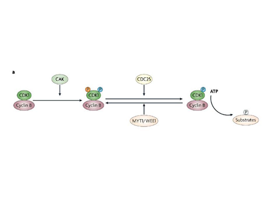 5.Inibizione della trascrizione (IC 50 > 100 nM) MECCANISMI DAZIONE DEL FLAVOPIRIDOLO