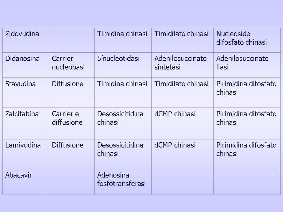 ZidovudinaTimidina chinasiTimidilato chinasiNucleoside difosfato chinasi DidanosinaCarrier nucleobasi 5nucleotidasiAdenilosuccinato sintetasi Adenilos