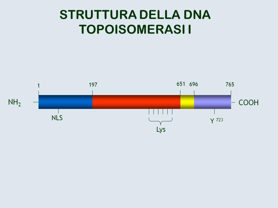 COOH Y 723 NLS STRUTTURA DELLA DNA TOPOISOMERASI I NH 2 1 197 651 696 765 Lys
