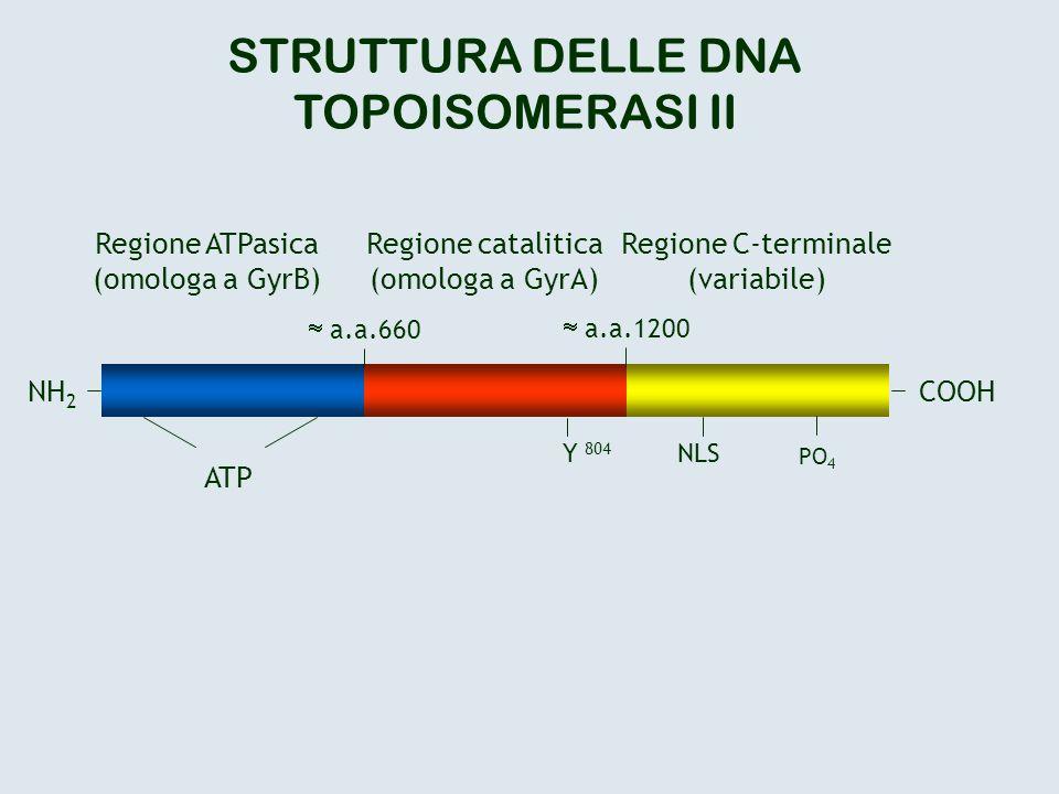 COOHNH 2 a.a.660 a.a.1200 ATP Y 804 NLS PO 4 Regione ATPasica (omologa a GyrB) Regione catalitica (omologa a GyrA) Regione C-terminale (variabile) STR