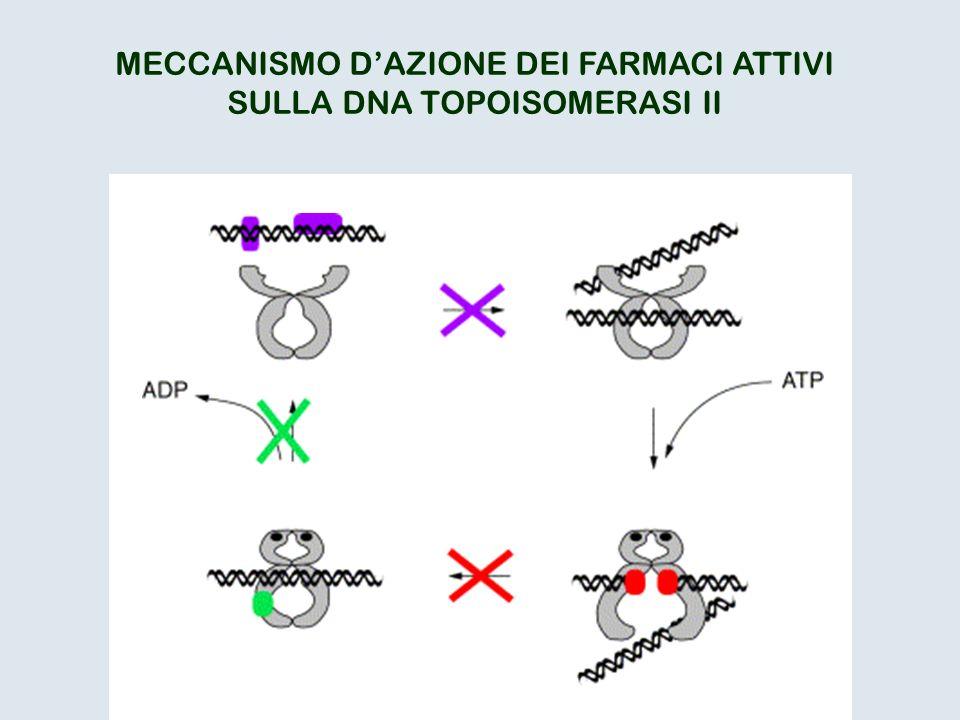 MECCANISMO DAZIONE DEI FARMACI ATTIVI SULLA DNA TOPOISOMERASI II