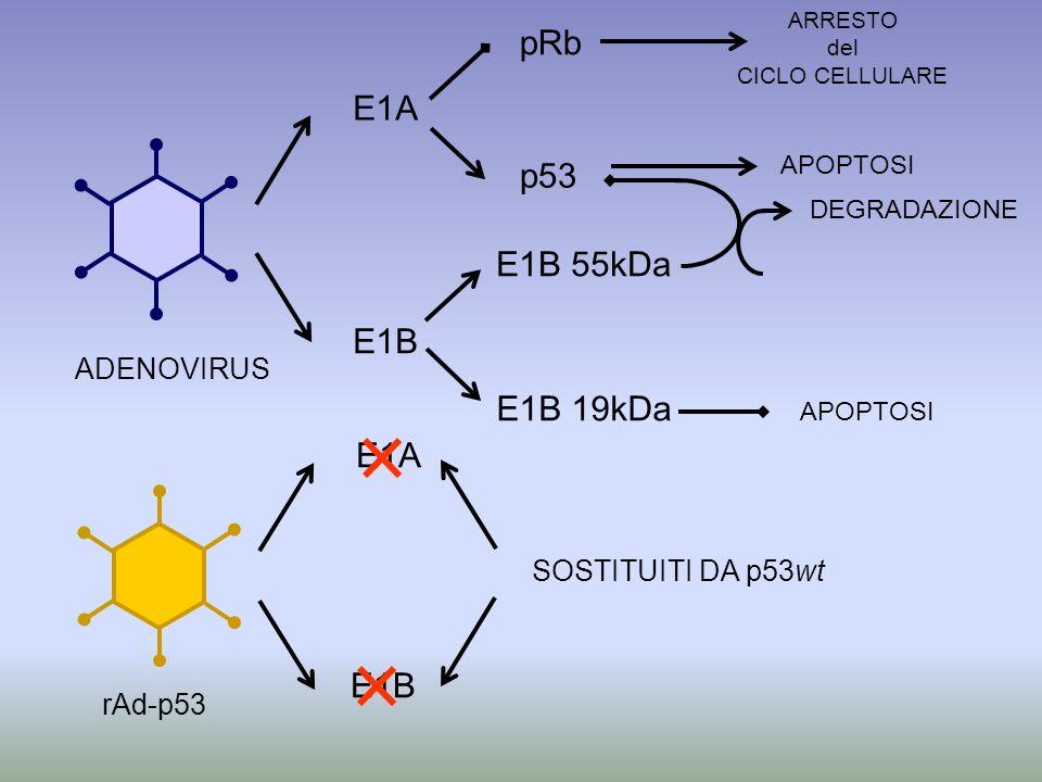 E1A E1B pRb E1B 55kDa E1B 19kDa p53 ADENOVIRUS APOPTOSI DEGRADAZIONE E1A E1B SOSTITUITI DA p53wt rAd-p53 APOPTOSI ARRESTO del CICLO CELLULARE