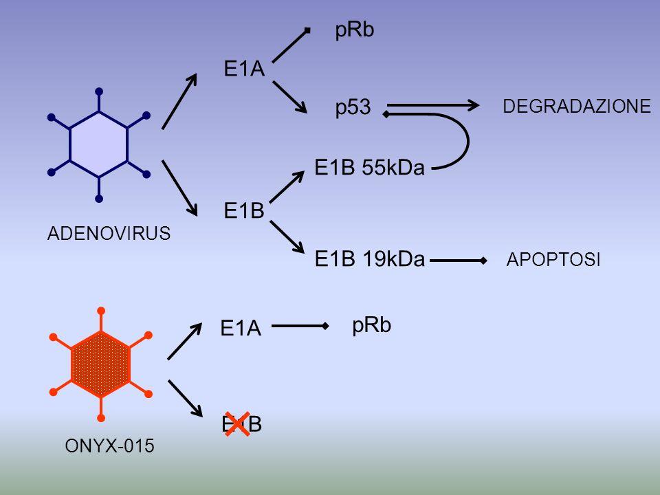 E1A E1B pRb E1B 55kDa E1B 19kDa p53 ADENOVIRUS APOPTOSI DEGRADAZIONE E1A E1B ONYX-015 pRb