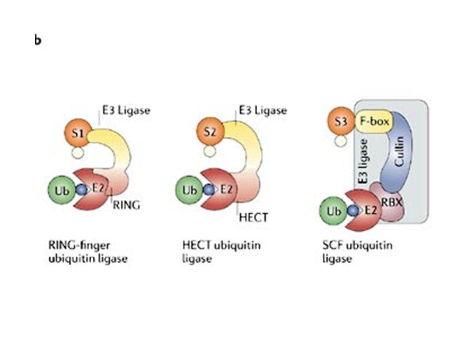 STRATEGIE TERAPEUTICHE BASATE SU p53 TUMORI CHE PRESENTANO MUTAZIONI DI p53 terapia genica con p53 wildtype virus oncolitici a replicazione selettiva (Onyx-015) imitazione dei prodotti di geni regolati da p53 (p21waf1; Bax)