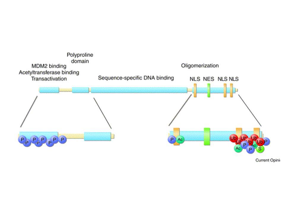 STRATEGIE TERAPEUTICHE BASATE SU p53 TUMORI CHE PRESENTANO MUTAZIONI DI p53 terapia genica con p53 wildtype virus oncolitici a replicazione selettiva (Onyx-015) imitazione dei prodotti di geni regolati da p53 recupero farmacologico della proteina p53 mutata: inibitori di Hsp90 altri
