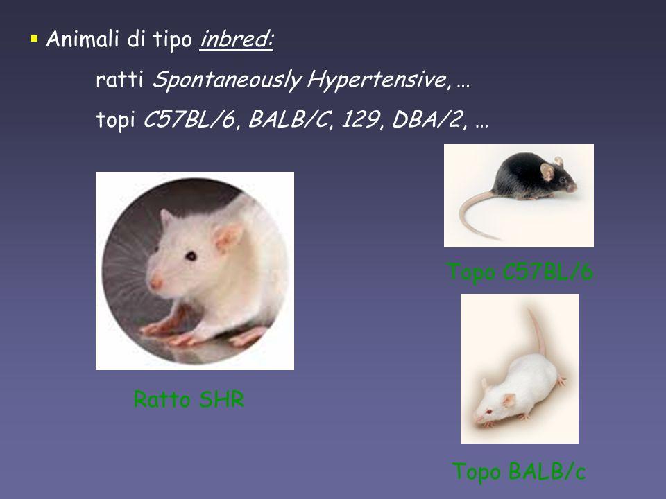 Animali di tipo inbred: ratti Spontaneously Hypertensive, … topi C57BL/6, BALB/C, 129, DBA/2, … Topo BALB/c Topo C57BL/6 Ratto SHR
