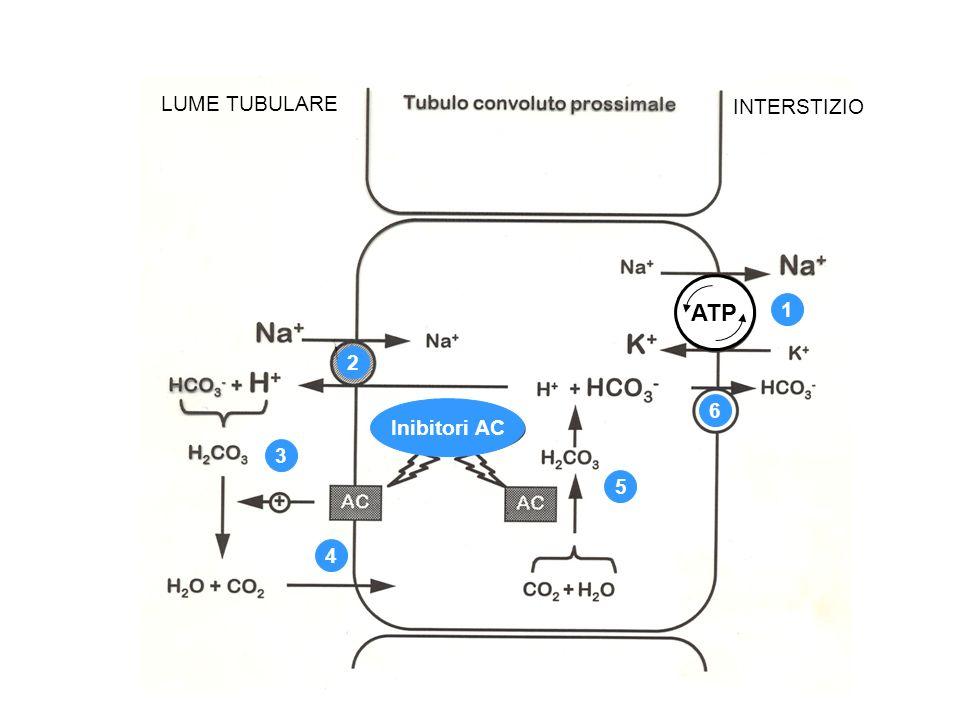 ATP 1 2 3 4 5 6 LUME TUBULARE INTERSTIZIO Inibitori AC
