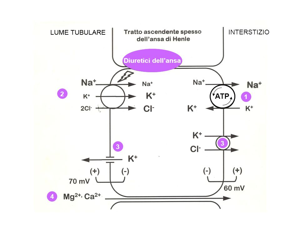 ATP LUME TUBULARE INTERSTIZIO 1 2 4 3 3 LUME TUBULARE Diuretici dellansa