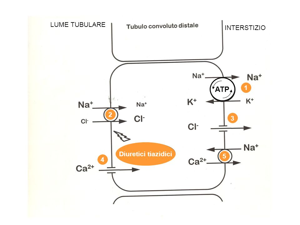 ATP LUME TUBULARE INTERSTIZIO 1 2 3 4 5 Diuretici tiazidici