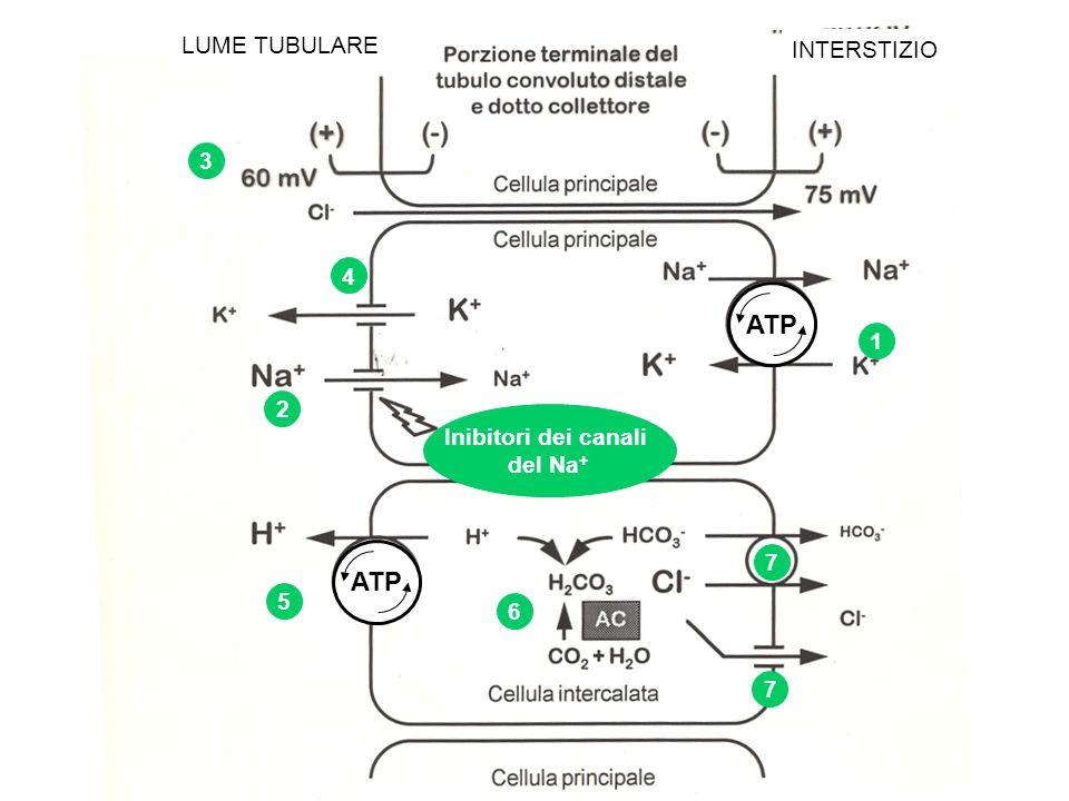 ATP LUME TUBULARE INTERSTIZIO 1 2 3 4 5 6 ATP 7 7 Inibitori dei canali del Na +