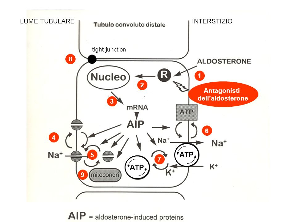 ATP LUME TUBULARE INTERSTIZIO tight junction 1 2 3 4 5 6 7 8 9 Antagonisti dellaldosterone