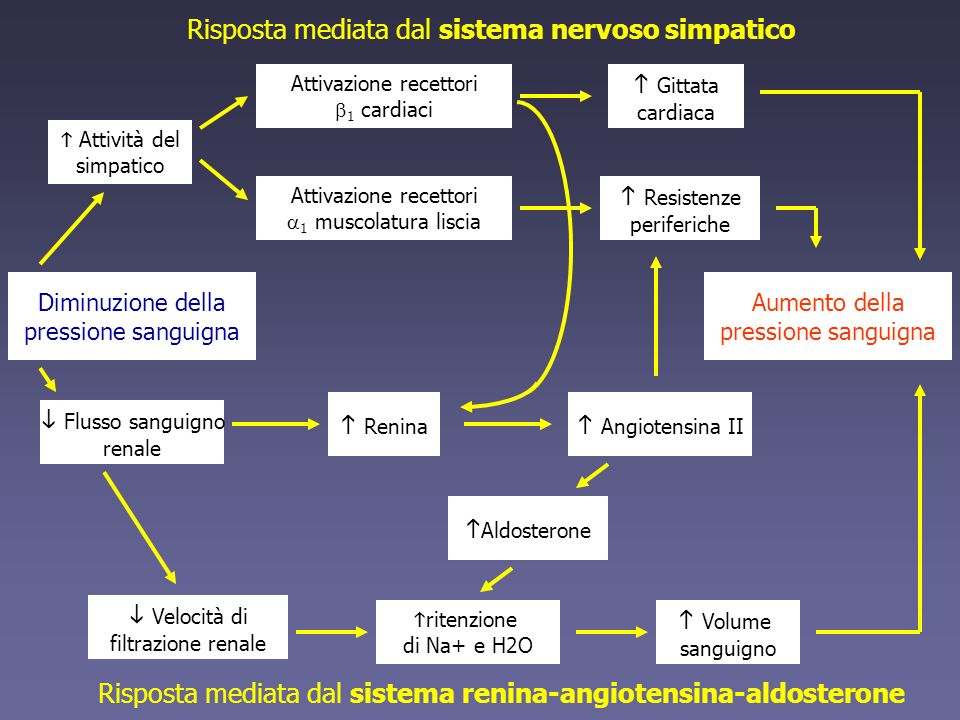 Diminuzione della pressione sanguigna Flusso sanguigno renale Velocità di filtrazione renale ritenzione di Na+ e H2O Aldosterone Volume sanguigno Renina Angiotensina II Risposta mediata dal sistema nervoso simpatico Risposta mediata dal sistema renina-angiotensina-aldosterone Aumento della pressione sanguigna Attività del simpatico Gittata cardiaca Resistenze periferiche Attivazione recettori 1 cardiaci Attivazione recettori 1 muscolatura liscia