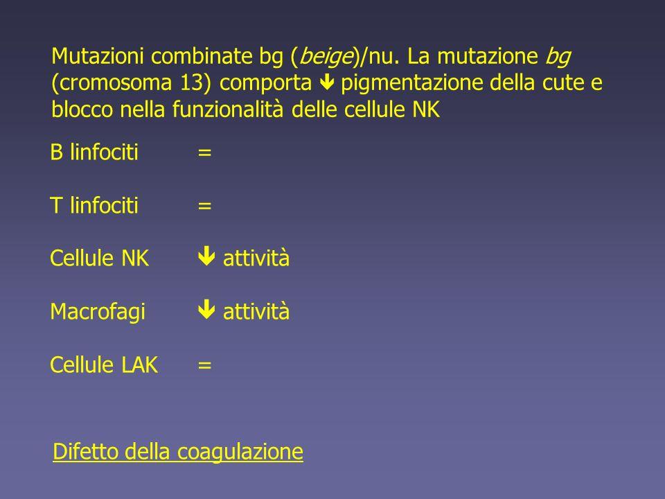 Mutazioni combinate bg (beige)/nu. La mutazione bg (cromosoma 13) comporta pigmentazione della cute e blocco nella funzionalità delle cellule NK B lin