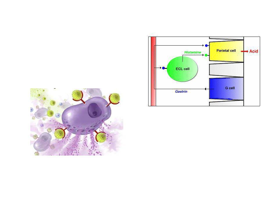 MECCANISMI DI LIBERAZIONE degenerazione dei mastociti lesioni a carico dei mastociti degranulazione per sensibilizzazione delle IgE di superficie spiazzamento dal complesso da parte di amine listamina aumenta la propria liberazione