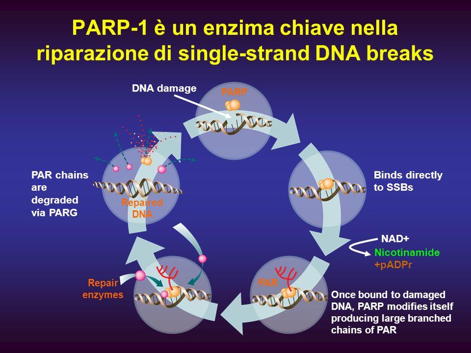 PARP-1 è un enzima chiave nella riparazione di single-strand DNA breaks PAR chains are degraded via PARG Repaired DNA PARP DNA damage Binds directly t