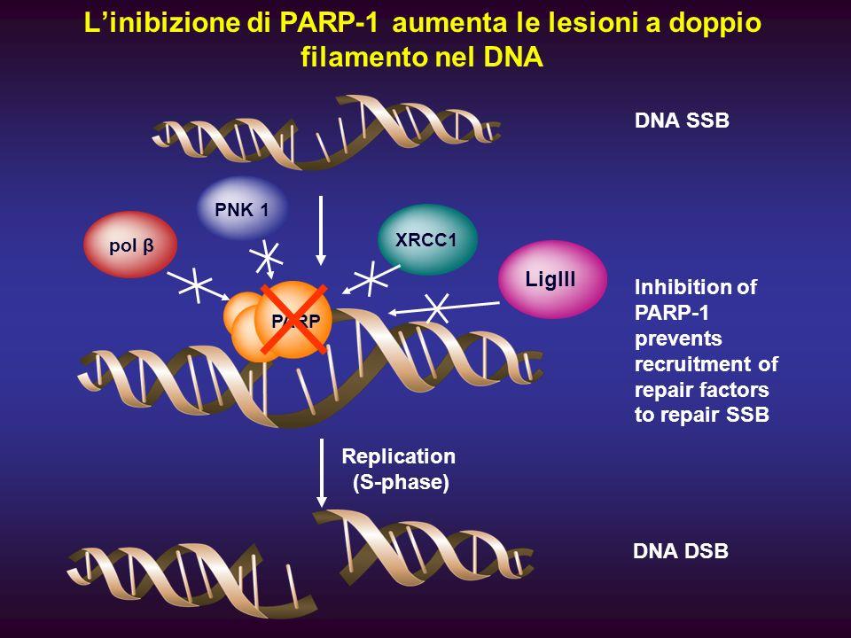 Linibizione di PARP-1 aumenta le lesioni a doppio filamento nel DNA PARP Inhibition of PARP-1 prevents recruitment of repair factors to repair SSB XRC