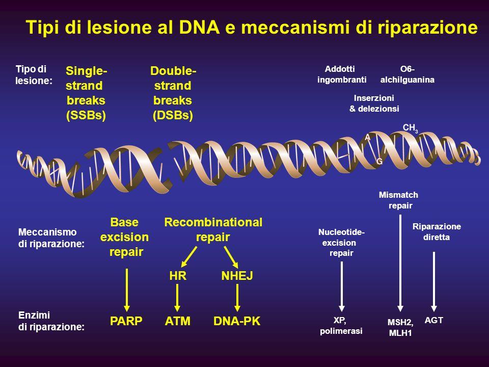 Linibizione di PARP-1 aumenta le lesioni a doppio filamento nel DNA PARP Inhibition of PARP-1 prevents recruitment of repair factors to repair SSB XRCC1 LigIII PNK 1 pol β Replication (S-phase) DNA DSB DNA SSB