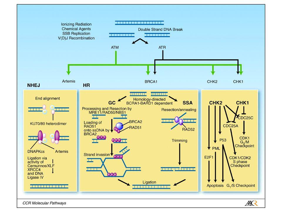 Inibitori di ATM, ATR e DNA-PK CS Non selettivi Caffeina (ATM/ATR) Wortmannina LY294002 ATM-selettivi KU-55933 DNA-PK CS NU-7441