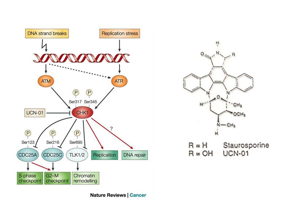 1.Inibizione isoforme Ca 2+ -dipendenti della PKC (IC 50 = 30 nM) 2.Inibizione isoforme Ca 2+ -indipendenti della PKC (IC 50 ~ 600 nM) 3.Arresto del ciclo cellulare inibizione CDKs aumento della sintesi di p27 kip1 e p21 waf1 4.Abolizione del checkpoint in G2 MECCANISMI DAZIONE DI UCN-01