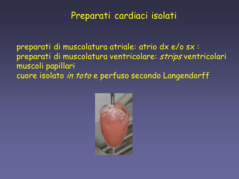 preparati di muscolatura atriale: atrio dx e/o sx : preparati di muscolatura ventricolare: strips ventricolari muscoli papillari cuore isolato in toto