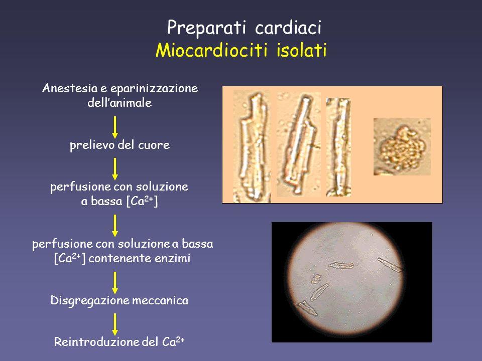 Miocardiociti isolati prelievo del cuore perfusione con soluzione a bassa [Ca 2+ ] Preparati cardiaci Anestesia e eparinizzazione dellanimale perfusio