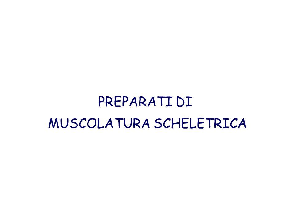 PREPARATI DI MUSCOLATURA SCHELETRICA