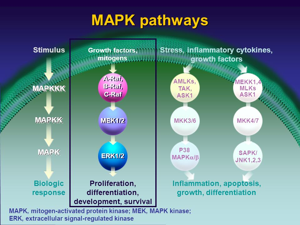 MAPK pathways AMLKs, TAK, ASK1 MKK3/6 P38 MAPK / MEKK1,4 MLKs ASK1 MKK4/7 SAPK/ JNK1,2,3 Inflammation, apoptosis, growth, differentiation Stress, inflammatory cytokines, growth factors Stimulus MAPKKKMAPKKK MAPKKMAPKK MAPKMAPK Biologic response A-Raf, B-Raf, C-Raf Growth factors, mitogens ERK1/2 MEK1/2 Proliferation, differentiation, development, survival MAPK, mitogen-activated protein kinase; MEK, MAPK kinase; ERK, extracellular signal-regulated kinase