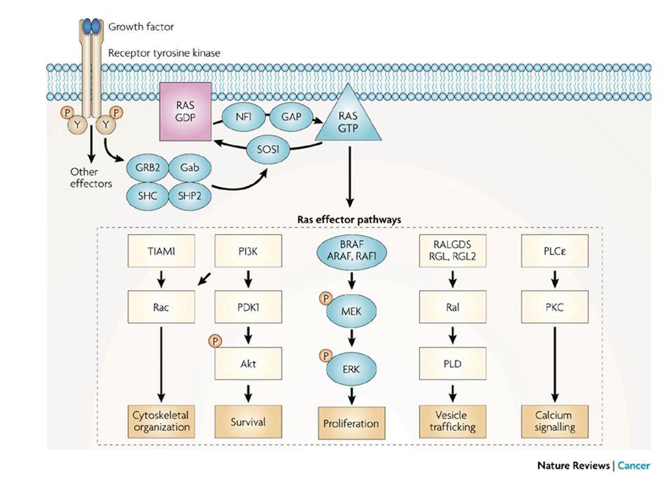 MAPK pathways MAPK, mitogen-activated protein kinase; MEK, MAPK kinase; ERK, extracellular signal-regulated kinase Stimulus MAPKKK MAPKK MAPK Biologic response AMLKs, TAK, ASK1 MKK3/6 P38 MAPK / MEKK1,4 MLKs ASK1 MKK4/7 SAPK/ JNK1,2,3 Inflammation, apoptosis, proliferation, differentiation Stress, inflammatory cytokines, growth factors Proliferation, differentiation, development, survival A-Raf, B-Raf, C-Raf Growth factors, mitogens ERK1/2 MEK1/2