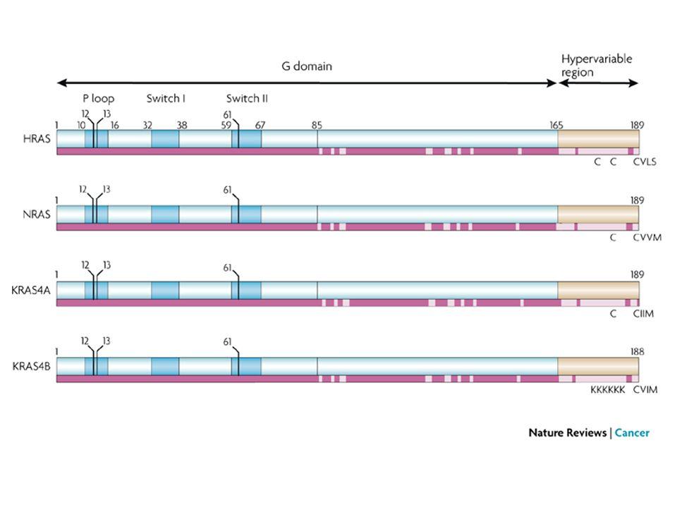 The role of MEK1/2 SHCGrb2SOS1 P P P Raf1 P MEK2 P MEK1 P Grb2, growth factor receptor-bound protein 2 Ras ERK2 ERK1
