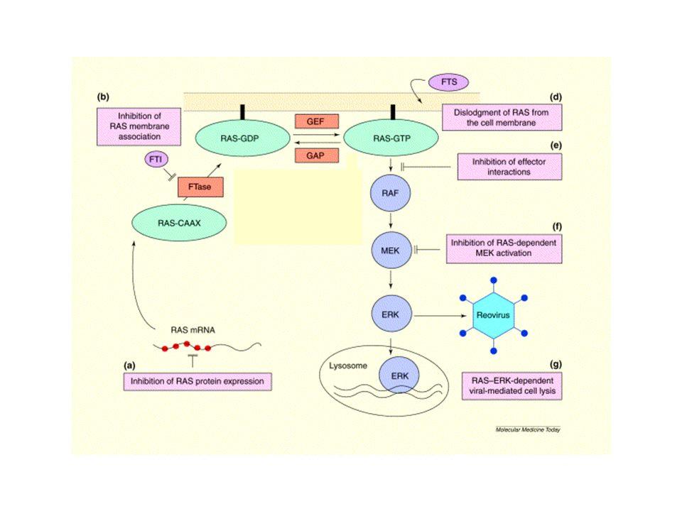 Constitutive Ras-Raf-MEK-ERK activation Raf1 P MEK2 P ERK2 P P ERK1 P P MEK1 P SRF Ras Transcription