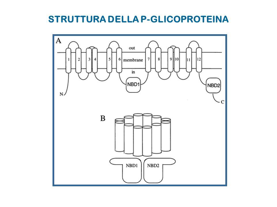 STRUTTURA DELLA P-GLICOPROTEINA