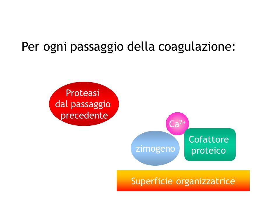 Per ogni passaggio della coagulazione: zimogeno Ca 2+ Superficie organizzatrice Cofattore proteico Proteasi dal passaggio precedente