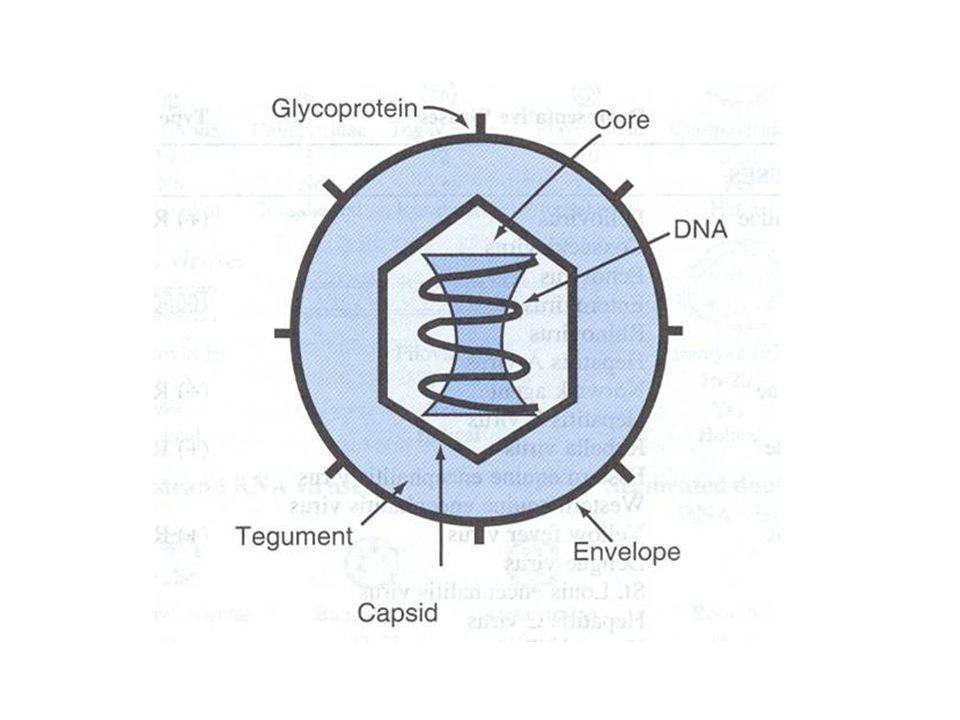 STADI DELLINFEZIONE VIRALE Interazione con la superficie cellulare Ingresso nella cellula