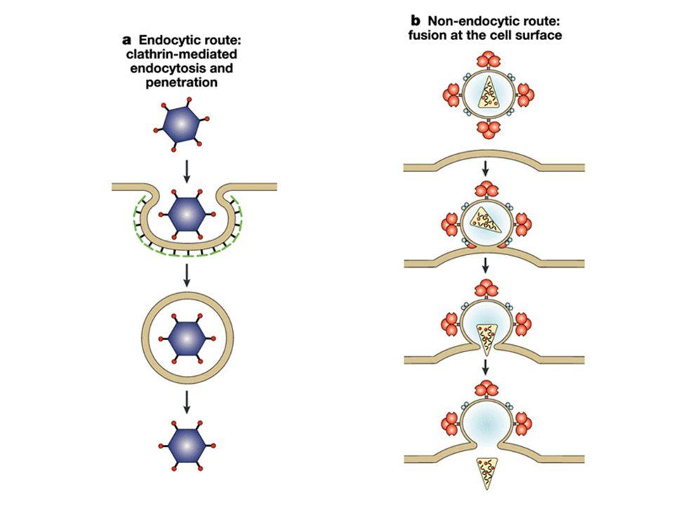 STADI DELLINFEZIONE VIRALE Interazione con la superficie cellulare Ingresso nella cellula Uncoating Espressione dei geni virali e replicazione Assemblaggio delle particelle virali e fuoruscita dalla cellula