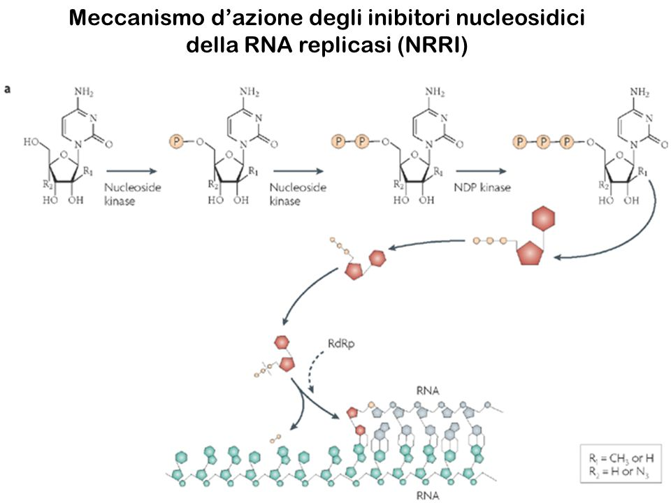 Meccanismo dazione degli inibitori nucleosidici della RNA replicasi (NRRI)