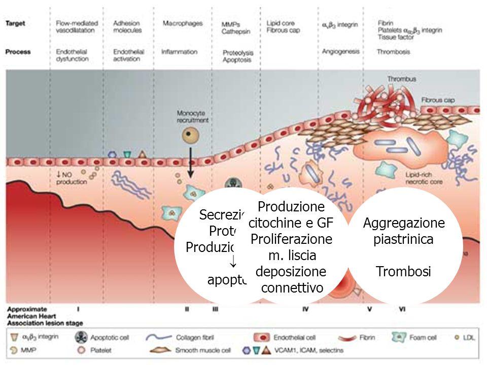 Secrezione Proteasi Produzione ROS apoptosi Produzione citochine e GF Proliferazione m. liscia deposizione connettivo Aggregazione piastrinica Trombos